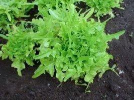 3000 Seeds of Oak Leaf Lettuce Lactuca Sativa - $12.87