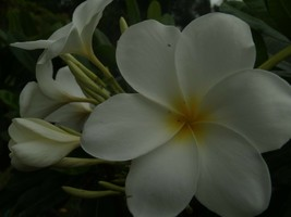 White fragrant Evergreen Hong Kong  Rare Exotic Plumeria cutting + Free ... - $10.40