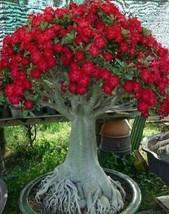 Caudex Bonsai - Desert Rose small size Adenium Obesum - one year bare Ro... - $13.20