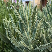 Lavender Godwin Creek 4 starter plants free shipping - $17.75