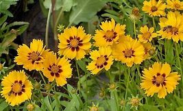 100 Pcs Seeds Yellow Coreopsis Seeds, Plains Coreopsis Heirloom Wildflow... - $13.99