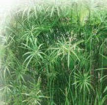 50 Seeds - Umbrella Plant Cyperus Alternifolius Papyrus Grass #SFB15 - $17.99