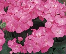 10 Fresh Seeds ~ Pink Maverick Geranium Flower - $18.96