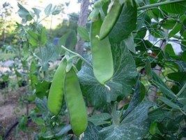 100g Seeds of Peas, Snow, Oregon Sugar Pod II / Pisum sativum - $33.66