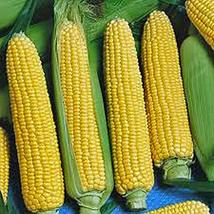 Corn, Golden Beauty, Heirloom, Non-GMO, 50 Seeds, Delicious, Golden and Sweet - $5.99