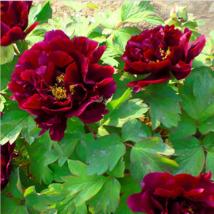 Chinese Peony garden Black Purple Peony Flower Potted Bonsai Plant 10Pie... - $2.79