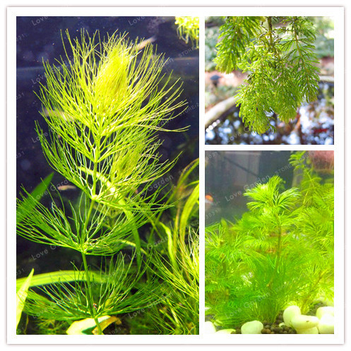 200 Pcs New Aquarium Grass Seeds (Mix) Water Aquatic Plant Seeds