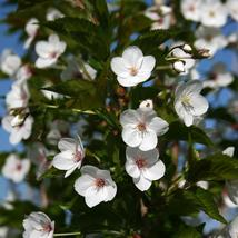 Snowgoose Flowering Cherry tree 2 plants - $42.99
