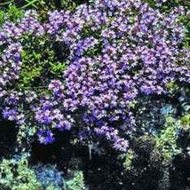 Creeping Thyme (Thymus Serpyllum Mother of Thyme)- 200 Seeds - $3.98