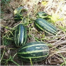 Garden Vegetable Early Sweet Sweet Tooth Melon Easy To Plant Fruit bonsa... - $10.06