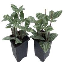 "Set of 2 Parallel Peperomia Puteolata Plant Home Garden Ornamental in 3""... - €17,08 EUR"