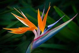 10 Pk Hawaiian Orange Bird Of Paradise Seeds - $98.88