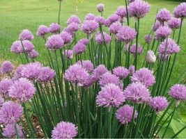 SHIPPED From US,PREMIUM SEED: 135 Particles of  Chive Herb, Hand-Package... - $18.99