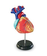 Learning Resources Heart Anatomy Model  - $40.00