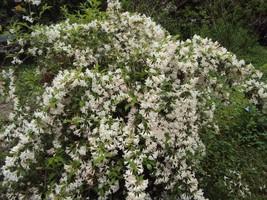 WHITE WEIGELA  (Weigela florida white) image 2