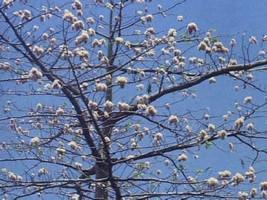 5 Silk Cotton Tree Seeds-1062 - $2.98