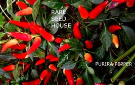 Purira Pepper Seeds! This plant gets Loads of peppers! Comb. S/H! SEE OU... - $15.48