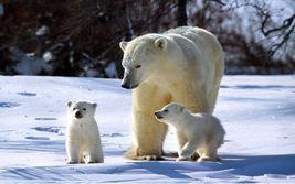 Polar Bear TKK Vintage 11X14 Color Wildlife Memorabilia Photo - $9.95