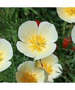 Non GMO Bulk California Poppy Seeds - White Linen Eschscholzia californi... - $306.85