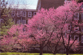 20 Eastern Redbud Tree seeds (Cercis canadensis)Ornamental Showy CombSH - $13.58