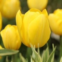 10 Tulip Bulbs-Golden Parade Tulip-Shipping (Pack of 10 Bulbs) Zones: 3-8 - $12.99