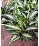Dumb Cane aka Dieffenbachia Panther Premium Foliage Live Plant Fit 1 Gal... - $9.89