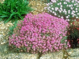 2000+PINK DWARF SWEET ALYSSUM Flower Seeds Fast Growing Groundcover Rese... - $2.75
