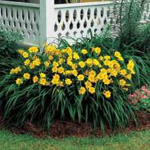 Stella de Oro Daylily 10 fans/roots re-blooming yellow blooms image 3