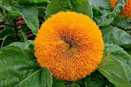 20 Organic Sun flower Seeds Dwarf Teddy Bear/Annual Flowers/ Annual Flower seeds - $2.99