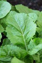 SHIP From US, 200 Seeds Yanagawa Takana Mustard, DIY Healthy Vegetable AM - $33.99