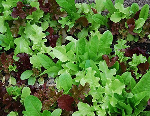 1000 Seeds of Mixed Lettuce / Lactuca sativa