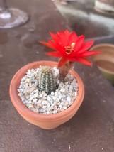 """2"""" Succulent - Peanut Cactus - $39.99"""