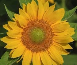 4 Variety 500pcs Unique Fresh Seeds Sunflower Pro Cut Series #TLM1 - $84.99+