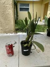 Pot Elegant Walker 'non' CATTLEYA Orchid Plant Pot BLOOMING SIZE 0506 U image 2