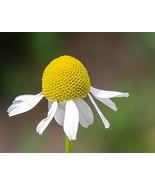 2000 Non GMO Fresh German Chamomile Daisy Seeds Herb - $8.99