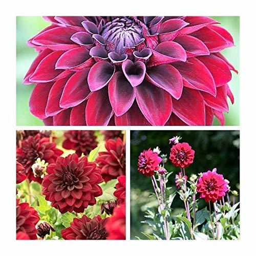 Primary image for 2 Dahlia Arabian Night Deep Red Color Flower Bulb Perennial Summer Blooming TkHo