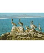 Capo San Lucas Pelican Pelicans Rare Birds Photo Postcard - $5.99