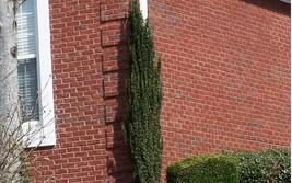 Sky Pencil Holly 2 plants image 2