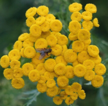100 Pcs Seeds Buttons Fern Yellow Tansy Double Tanacetum Vulgare Flower ... - $16.00