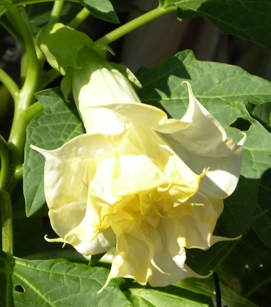 "Angel Trumpet - Double Yellow -  ""Datura Fastuosa D. metel Solanaceae"" 10 Seeds"