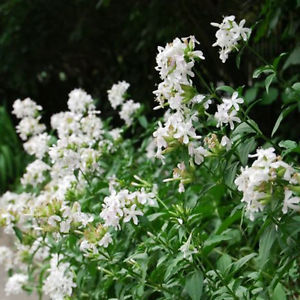 White Soap Wort Seed 30 Seeds Saponaria Officinalis Beautiful Flower Seeds A253