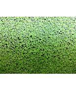 Duckweed 200+ Live Floating Aquarium Pond Plants (Lemna Minor) - $14.00