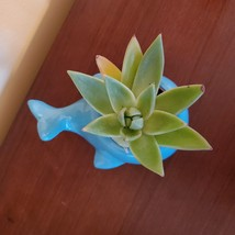 "Ceramic Whale Planter with Succulent, live plant, 4"" blue animal pot, Echeveria image 4"