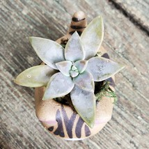 Cat Planter + Ghost Succulent, Kitten Ceramic Pot, Graptopetalum Paraguayense image 3