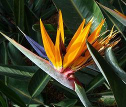 25 bulk seeds - bird of paradise strelitzia reginae  - $48.76