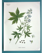 LARKSUPR Flower Delphinium Staphisagria - Beautiful COLOR Botanical Print - $18.36