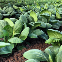 1000 Bok Choy Pak Choi White Stem Cabbage Seeds + Gift - COMB S/H - $0.99