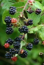 5 Seeds of Rubus Alleghaniensis Blackberry Fruit - $16.83