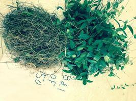 Vinca Minor vine 100 plants/clumps Periwinkle graveyard ground cover image 3