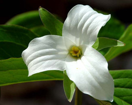 White Trillium 5 bulbs Wood Lily (Trillium graniflorium) image 1